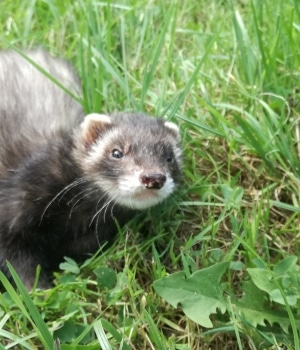 "Scarlett the Ferret 1 1 - The animals of ""Tal Ar Galonn"