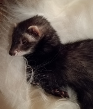 "Scarlett the Ferret 2 - The animals of ""Tal Ar Galonn"