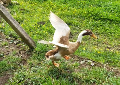 "the ducks 2 - The animals of ""Tal Ar Galonn"